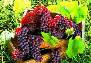 Виноградолечение
